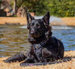 kyra brahm and storm solid black long coat german shepherd in texas 2