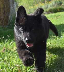 solid black large  long coat german shepherd puppy in tx