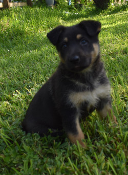 black and tan large german shepherd puppy