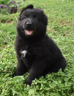 Prada and Brahm long coat solid black german shepherd puppy, wolfgang haus german shepherds