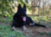 veda lay bicolor german shepherd in texa