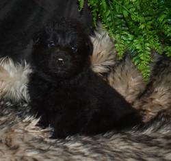 brown collar solid black boy (4)