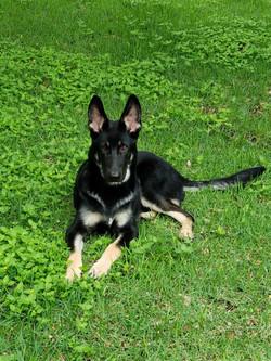 german shepherd puppy in south Texas wol