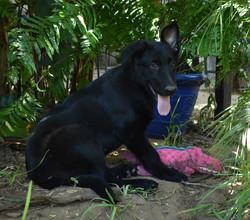 solid black extra large german shepherd