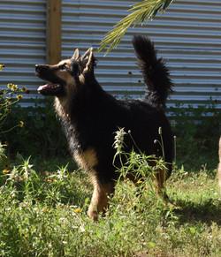 Destiny large long coat black and red german shepherd