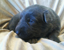 solid blue german shepherd puppy 2 weeks old, wolfgang haus german shepherds in TX