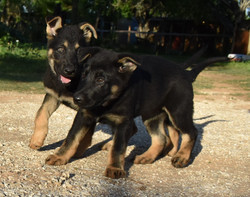 Veda and Ruger black and red german shepherd puppies for sale in texas