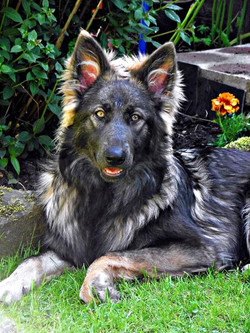 blue sable german shepherd-owner Catherine Clark