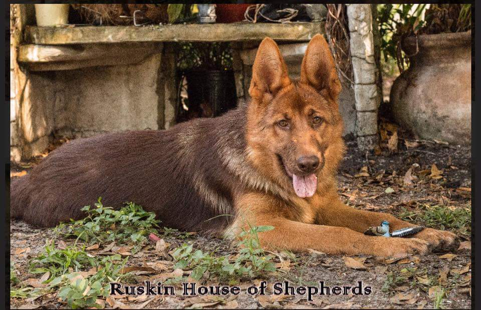 liver and red german shepherd ruskin house of shepherds