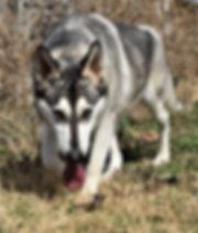 silver sable hobo wolf mask german sheph