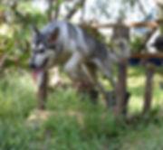 Parisia jumping silver sable wolf mask g