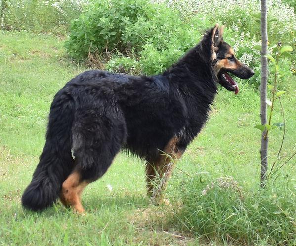 black and red long coat german shepherd