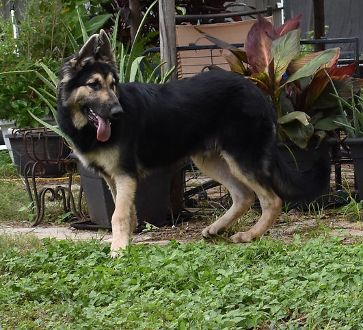Real Steel extra large german shepherd 7