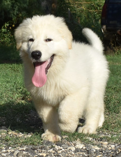 large long coat white german shepherd pu