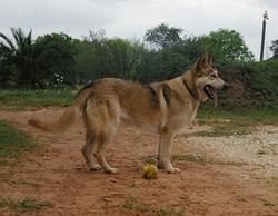 Kitara old fashioned extra large german shepherds, wolfgang haus german shepherd