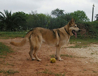 large wolf mask germa shepherd dog