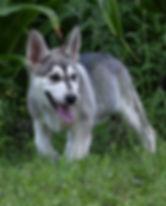 Parisia silver sable wolf mask german sh