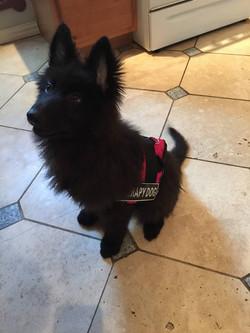 Solid black long coat german shepherd therapy dog, wolfgang haus german shepherds.jpg