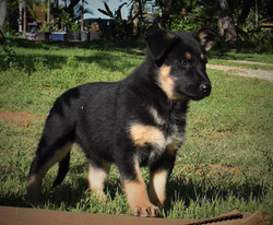 Roma and Hailock  female puppy, black and tan large german shepherd puppy for sale in tx