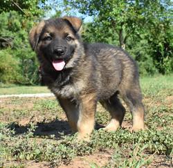 dark sable german shepherd puppy for sal