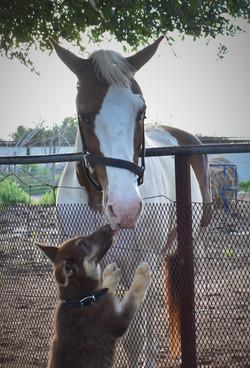 horse and german shepherd puppy, best ge