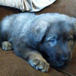 blue silver sable  long coat german shepherd puppy
