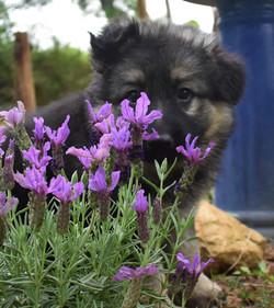 Brahm and Prada female long coat german shepherd puppy, texas German shepherd puppy for sale