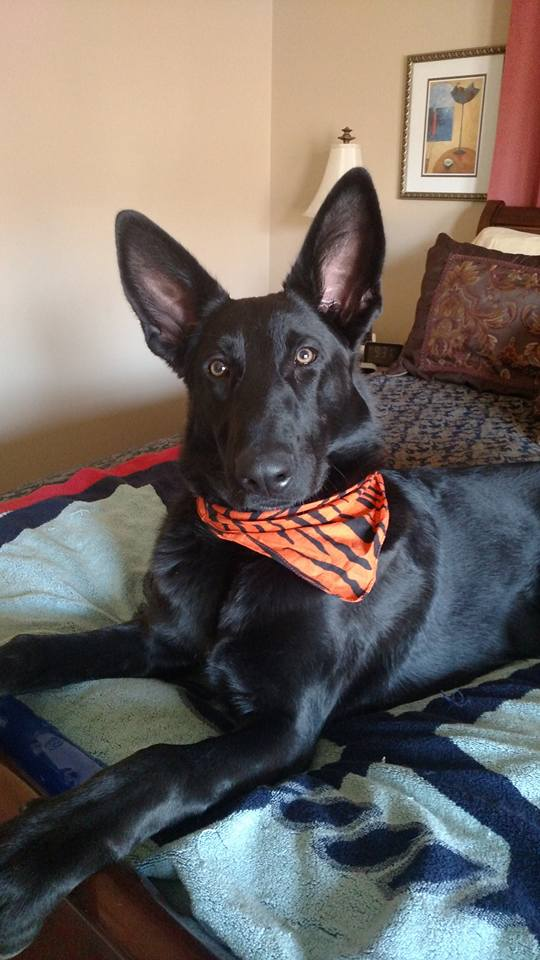Storm and Hailock solid black german shepherd from tx