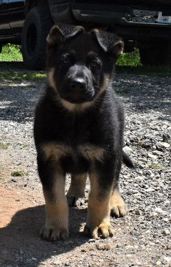 black and tan large straight back german