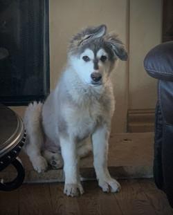 wolf mask long coat german shepherd 4 mo