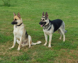 large black and silver and black and cream german shepherd in tx