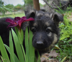 Prada and brahm long coat german shepherd puppy for sale in texas