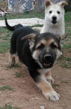 extra large german shepherd pupp, wolfgang haus german shepherds