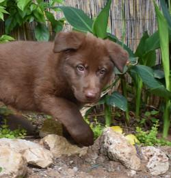dark chocolate liver german shepherd pup