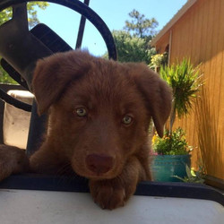 liver chocolate german shepherd puppy