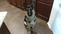 8 months 85 lbs and 28 inches storm and ruger male german shepherd puppy