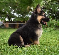 Prada and brahm black and red long coat german shepherd puppy