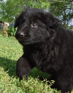 solid black long coat german shepherd puppy for sale in san antonio tx