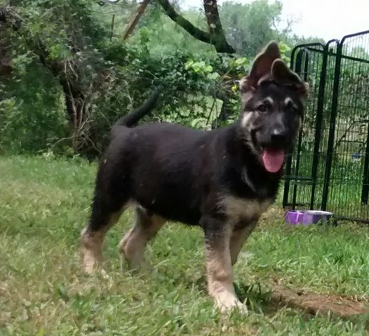 extra large giant silver german shepherd puppy for sale tx