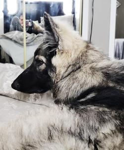 salem large black silver sable long coat
