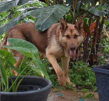 Coco liver chocolate german shepherd dog in texas.JPG