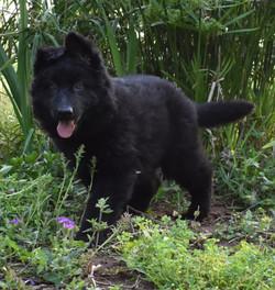 solid black long coated german shepherd