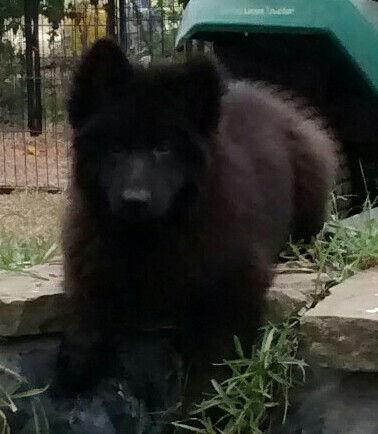 black long coat german shepherd puppy