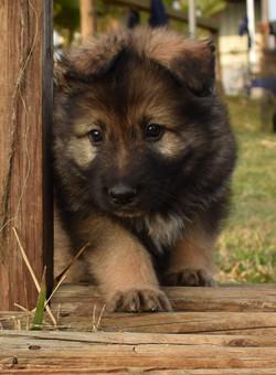 sable long coat german shepherd puppy in