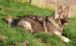 Liver sable long coat german shepherd -owner Fiona Gierus