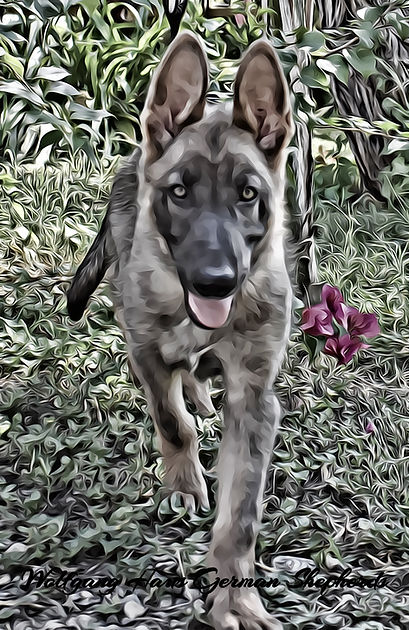 blue sable german shepherd wolfgang haus