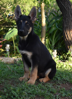 Veda and Ruger, black and red extra large german shepherd puppy for sale in tx (2)