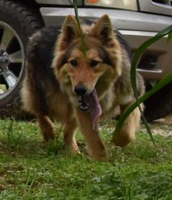 red sable long coat german shepherd tx, maskless german shepherd in texas, wolfgang haus german shep