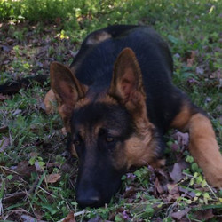Ruger and Storm black and red german shepherd puppy