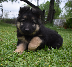 Brahm and Prada long coat large german shepherd puppy for sale in tx